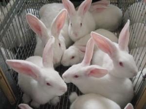Какие виды кролиководства