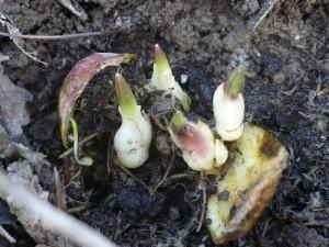 размножение лилии