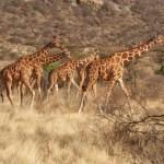 Окаменелые останки жирафов впервые обнаружены в Киргизии