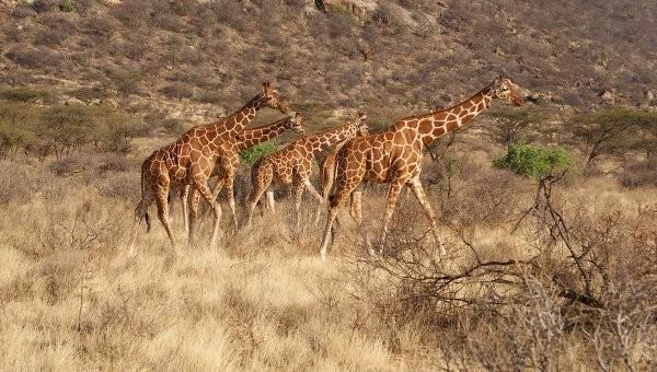 останки жирафов